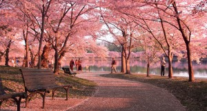 cherry-blossoms-2